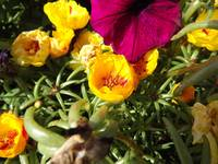 Yellow Portulaca (aka Moss Rose)