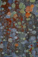 Gravestone Lichens 2 Morvich burial Ground