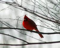 Cardinal on Winter Branch