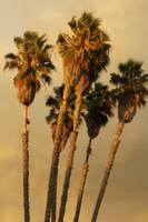 tall view of palm trees
