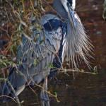 """Heron Beauty"" by Khsummersphotography"