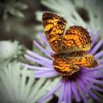 """Painted Lady on Purple"" by Khsummersphotography"