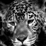 """""""jaguar - portrait"""" by greensalt"""