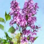 """Lilacs Against The Sky"" by susansartgallery"