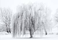 Winter Willow