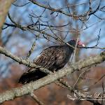 """Turkey Vulture Mid-Fall 20121121_4a"" by Natureexploration"