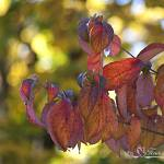 """Dogwood Leaves 20121023_11a"" by Natureexploration"