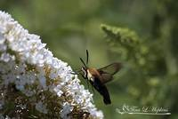 Hummingbird Moth 20120802_292