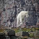 """""""Mtn Goat"""" by csjones"""