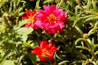 Moss Rose - Woodlands TX