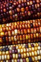 Indian corn close up