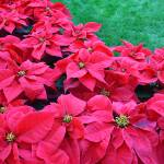 """Poinsettias"" by christiancarollo"
