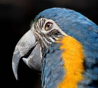 Blue Yellow Macaw