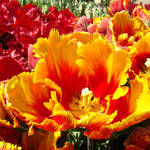 Tulip Flowers art Print Red Yellow Tulips Floral