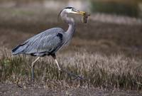 Great Blue Heron with Gopher