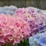 """Pink Hydrangeas in the Back Yard"" by MzEmCab"