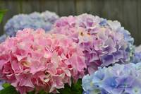 Pink Hydrangeas in the Back Yard