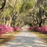 """Looking down road with azaleas and live oaks"" by Landbysea"