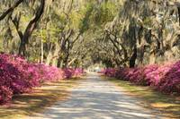 Looking down road with azaleas and live oaks