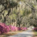 """Road with azaleas and live oaks in Spring"" by Landbysea"