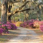 """Path with azaleas and live oaks in Spring"" by Landbysea"