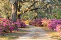 Path with azaleas and live oaks in Spring
