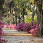 """Looking down an unpaved road with azaleas"" by Landbysea"