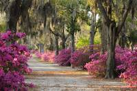 Looking down an unpaved road with azaleas