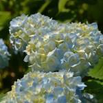 """Blue Hydrangeas"" by MzEmCab"