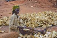 Maize Shucking