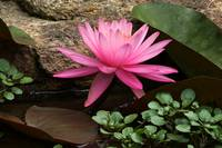 The Grace Of A Water Lily