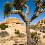 """Joshua Tree"" by ChrisHudson"