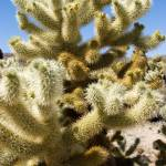 """Cholla Teddy Bear Cactus"" by ChrisHudson"