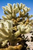 Cholla Teddy Bear Cactus