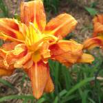 """Orange Daylily"" by wohl"