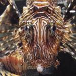 """Zebra Fish front view"" by wohl"