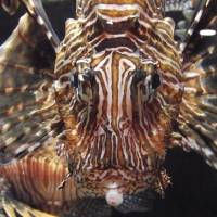 """Zebra Fish front view"" by Jeff Wohl"