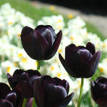 """Tulip art prints Deep Purple Tulips Flowers"" by BasleeTroutman"