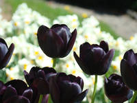 Tulip art prints Deep Purple Tulips Flowers