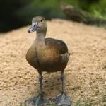 """Curious Little Duck"" by DesignWindmill"
