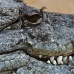 """""""Crocodile"""" by DesignWindmill"""