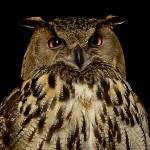 """Owl"" by LZPhoto"