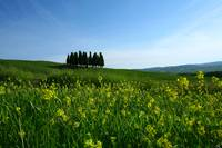 Cypress Trees in Tuscany in the Spring
