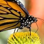 """_DSC7165 Monarch feed"" by eyalna"