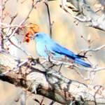 """Blue Bunting In Tree"" by FlaminCatDesigns"
