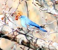 Blue Bunting In Tree