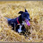 """Bella, Harvest Greyhound"" by chris-roe"
