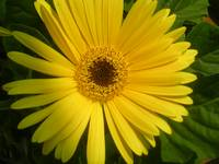 Cheerful Gerber Daisy