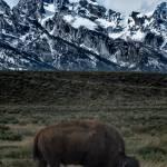 """""""Last Buffalo Standing"""" by getfarid"""