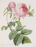 Rose, engraved by Eustache Hyacinthe Langlois (177